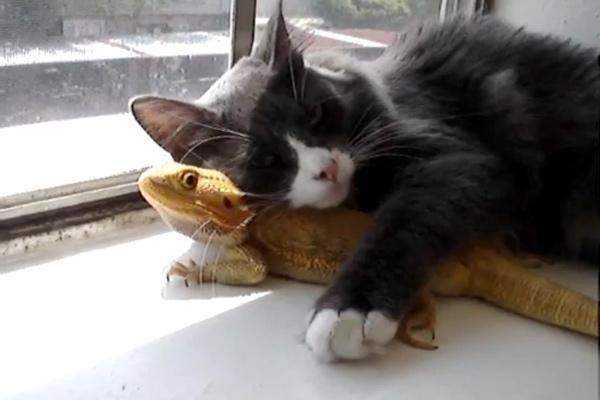 フトアゴヒゲトカゲ猫